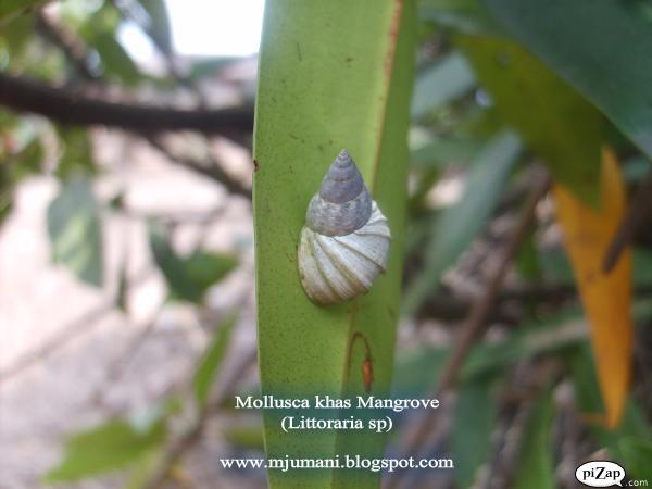 mollusca mangrove, siput mangrove, gastropoda