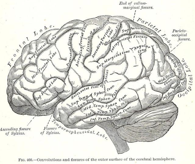 Antique Halloween brain image graphics printables Gray's Anatomy | www.knickoftime.net