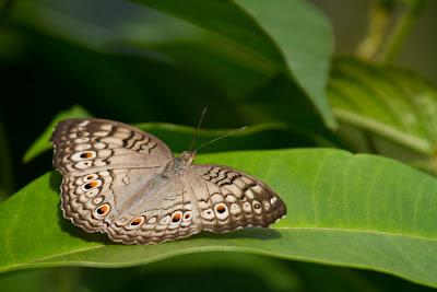 A Grey Pansy (Junonia atlites) photographed at Thalangama, Sri Lanka