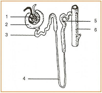 Gambar nefron