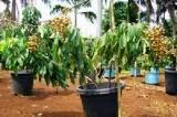 tanaman buah dalam pot ( tabulampot )