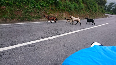 Several goats cross the road in front of travelers on motorcycles on Ho Chi Minh Highway, Vietnam.