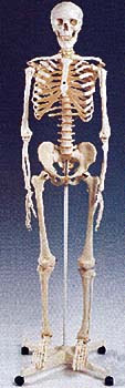 Berapakah jumlah tulang dalam tubuh manusia?