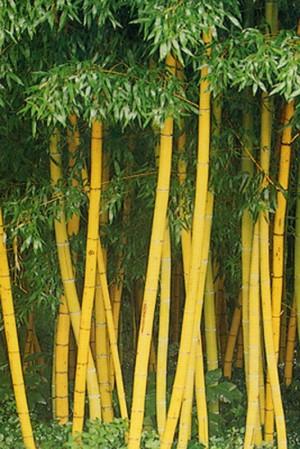 jual tanaman hias.jual bambu kuning panda.bambu jepang | LOVE GREEN