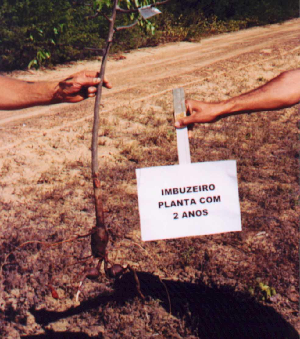 Planta de imbuzeiro com 2 anos de crescimento