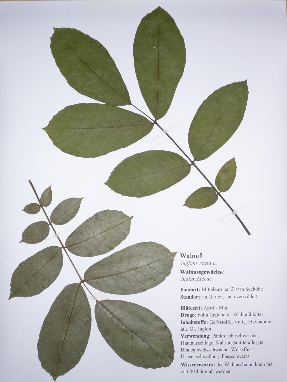 Herbarium Blätter kräuterfee april 2012