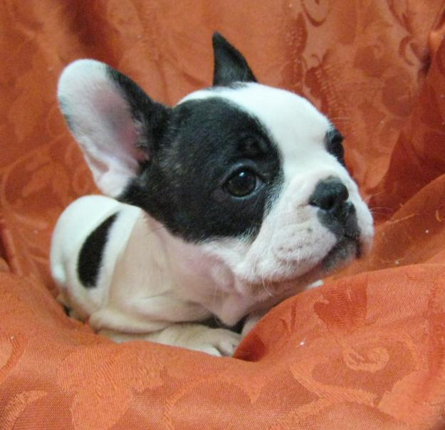 French Bulldog Breeder Pictures | Dog breeds and Puppies Pictures