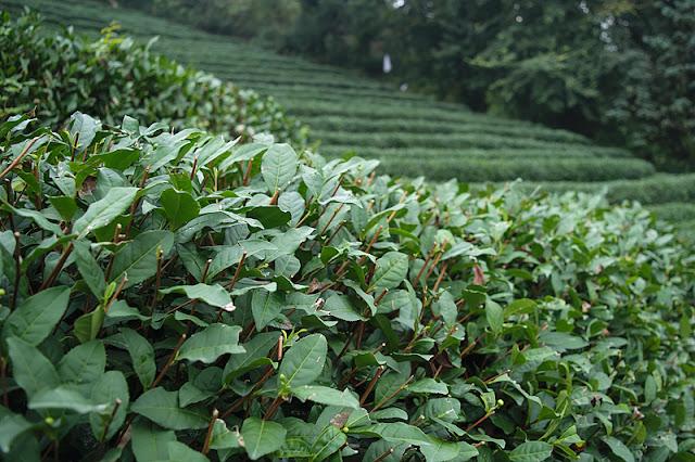 Des théiers à Long Jing