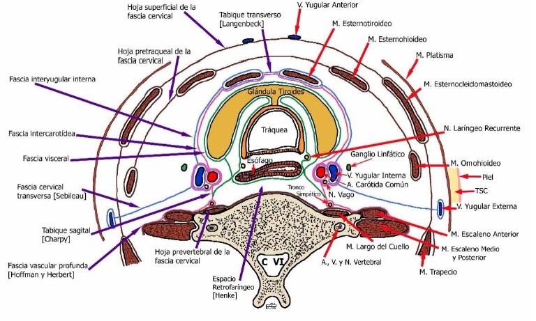 Anatomía 2012 - Ayudante Pablo Prado: Fascias del Cuello