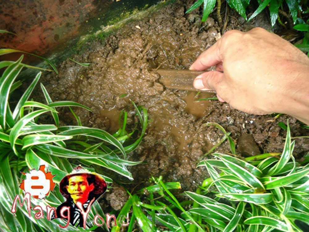 Mengolah tanah atau menggemburkan untuk semai Cocor bebek