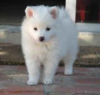 American Eskimo Puppy Pictures