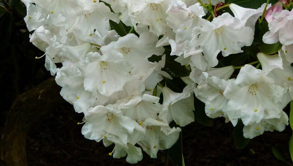 Rhododendron, Dunham Massey Garden