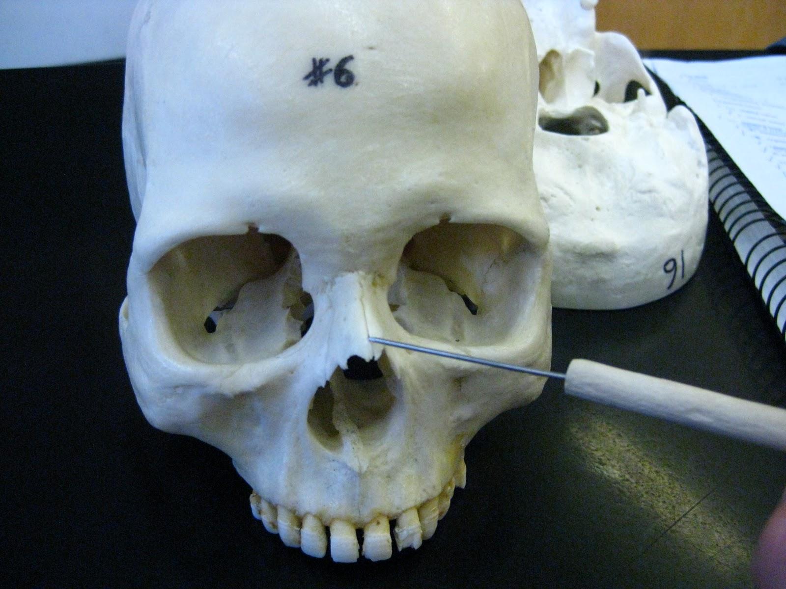 Boned Human Skull Nasal Bone