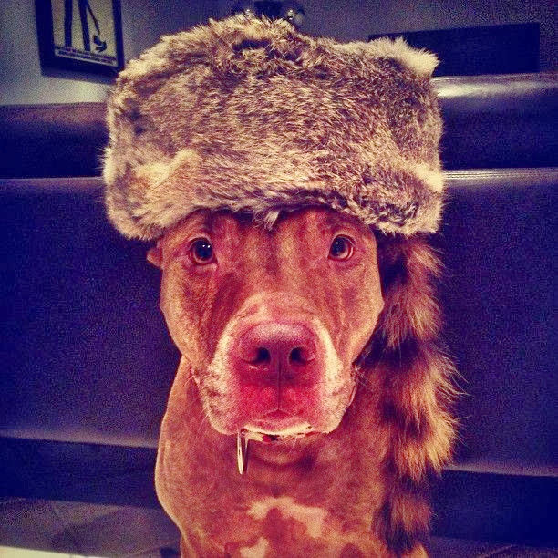 Scout the pit bull balances stuff on his head (30 pics), stuff on Scout's head, scout wear coonskin cap