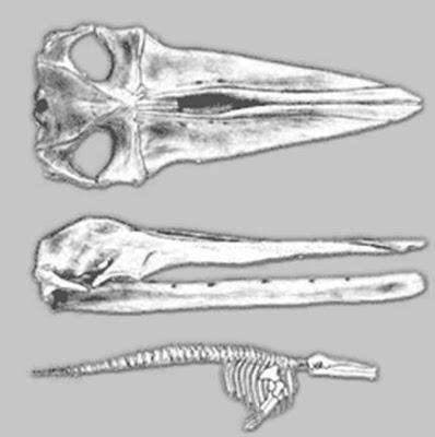 Cetotherium skull