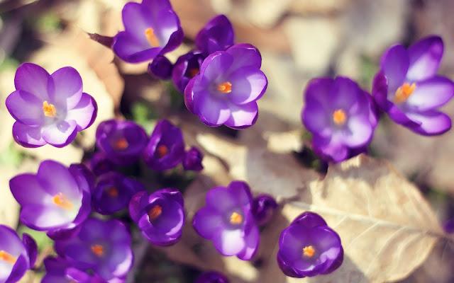 Lente achtergrond met paarse krokussen in de lente