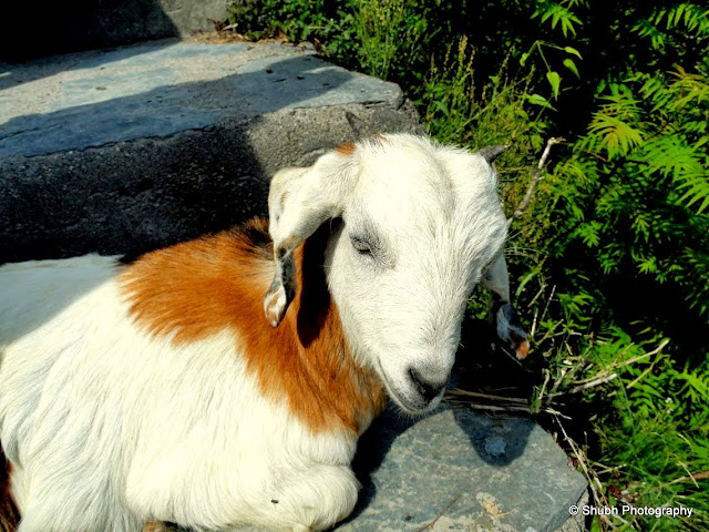 shubh Photography, Goat, Tricolor, McLeodganj, Photography