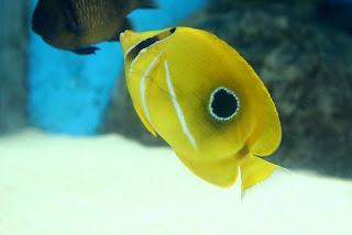 Bennett's Butterflyfish