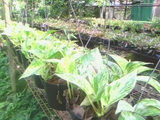 tanaman-sirih-putih