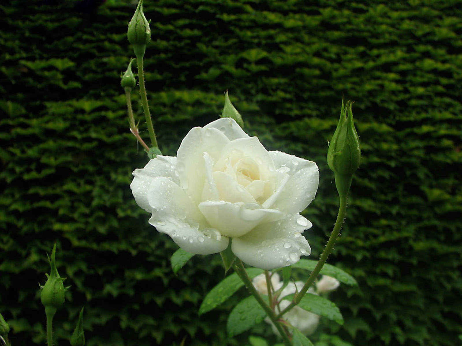 white rose backgrounds wallpapers - photo #26