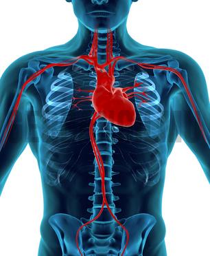 Jantung - alat peredaran darah
