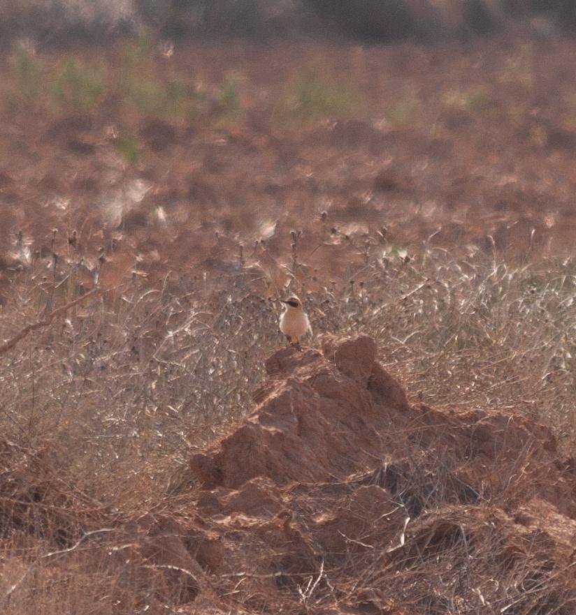 Black-eared Wheatear - Spain