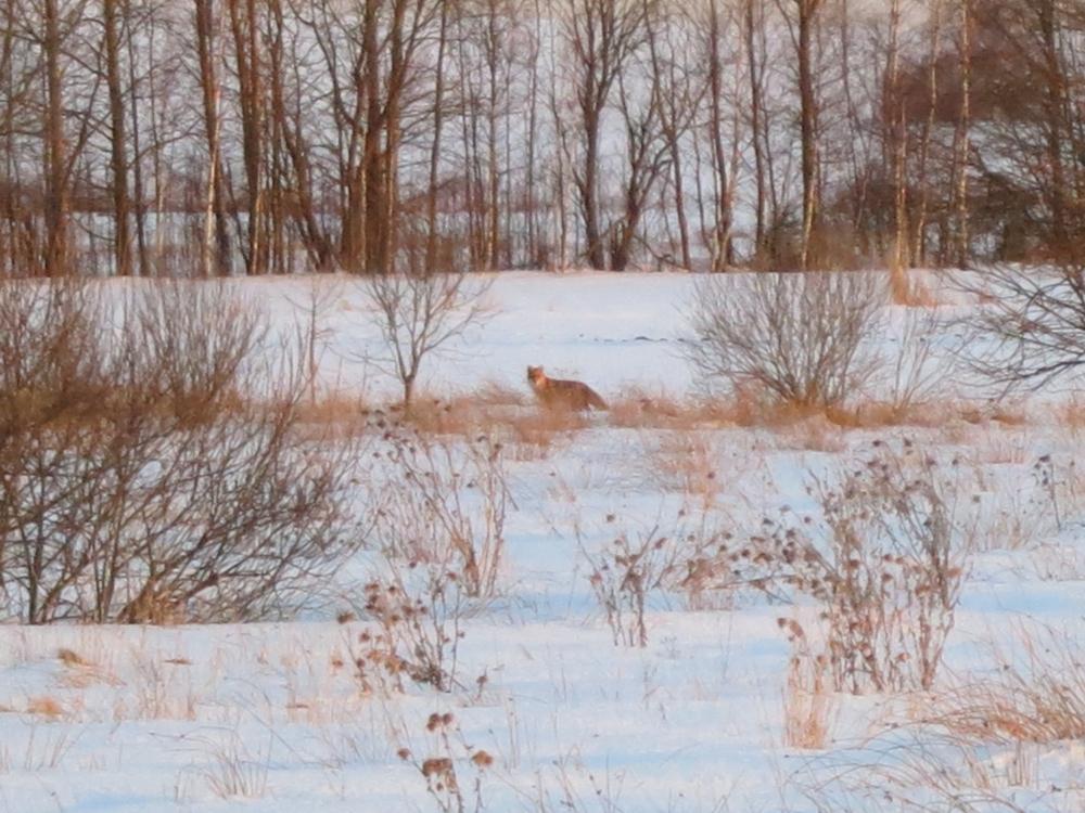 Rudy lis we wsi Harkawicze pośród śniegu i gałęzi