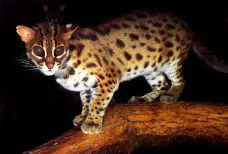 Nama latin kucing rumahan, kucing anggora, dan kucing hujan