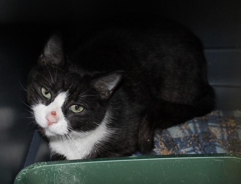 Purebreed Black Cat