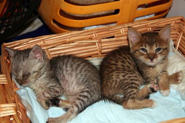 Festa nazionale del gatto all audace per legnaia