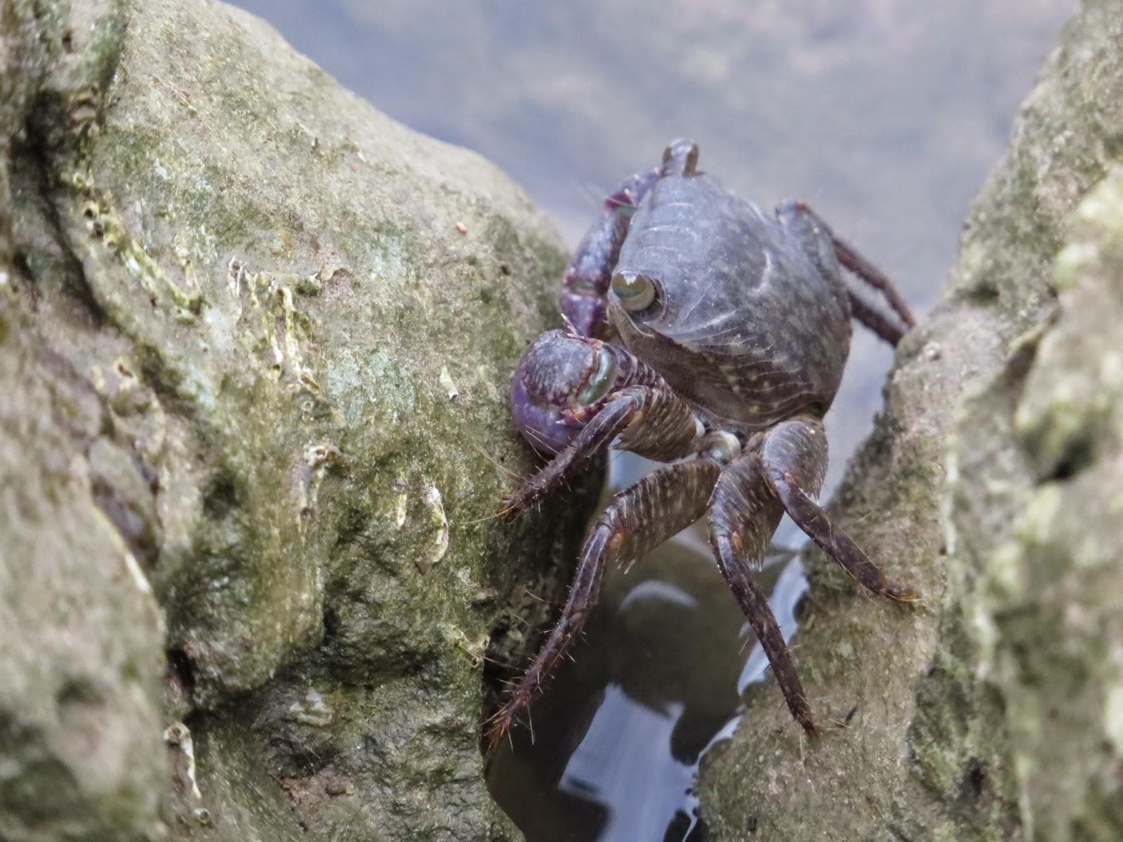 Mr. Crab Yang Pemalu (Foto/Admin)
