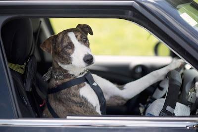 anjing bawa kereta