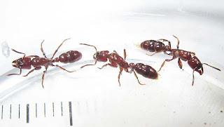 Centromyrmex hamulatus