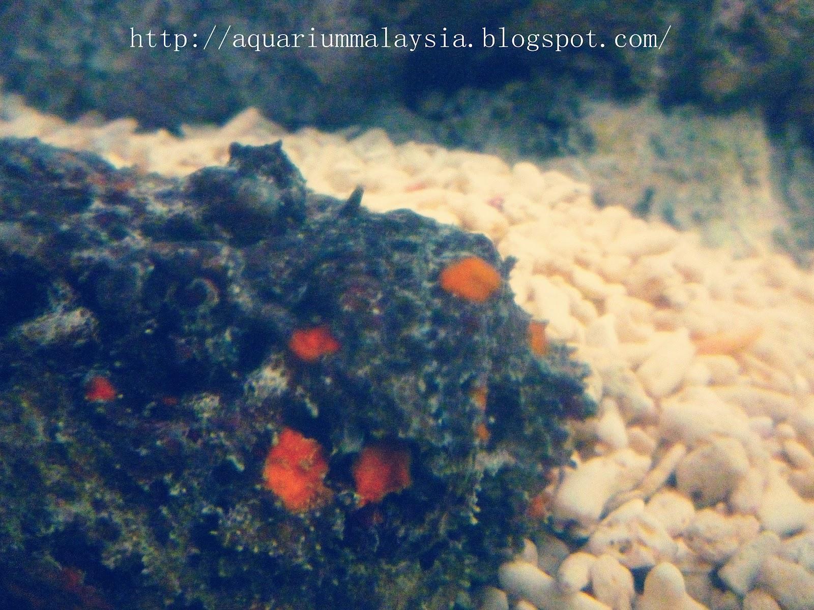 My aquarium journey in malaysia stonefish interesting for Stone fish facts