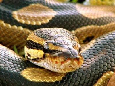 Caçadores africanos arriscam a vida para capturar a grande serpente em sua toca com uma tática que vai lhe dar arrepios