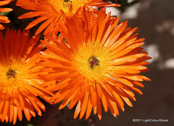 Orange ice plant Lampranthus aureus close-up