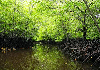 Pohon Mangrove atau Bakau