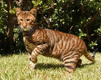 Un tigre en miniatura: Toyger