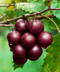 Click on Image for Premium Muscadine Grape Seed Products