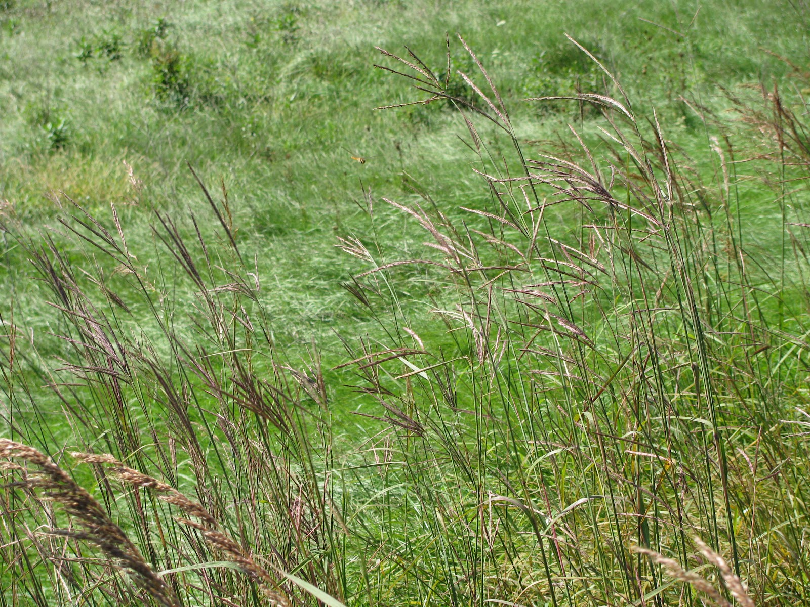 the nature of golf in ann arbor  native grasses
