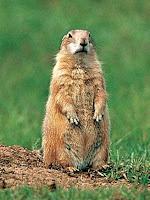 marmota roedor