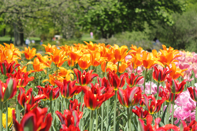 Tulips at Brooklyn Botanic Garden