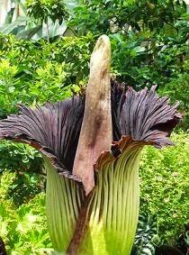 Gambar Flora Fauna Indonesia Bunga Bangkai Macam Jenis Flora Langka Nusantara