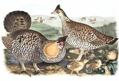 Galliformes gallo de las praderas Tympanuchus cupido