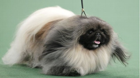 Kennel Club Puppies on Westminster Kennel Club Dog Show   The 2012 Westminster Kennel Club
