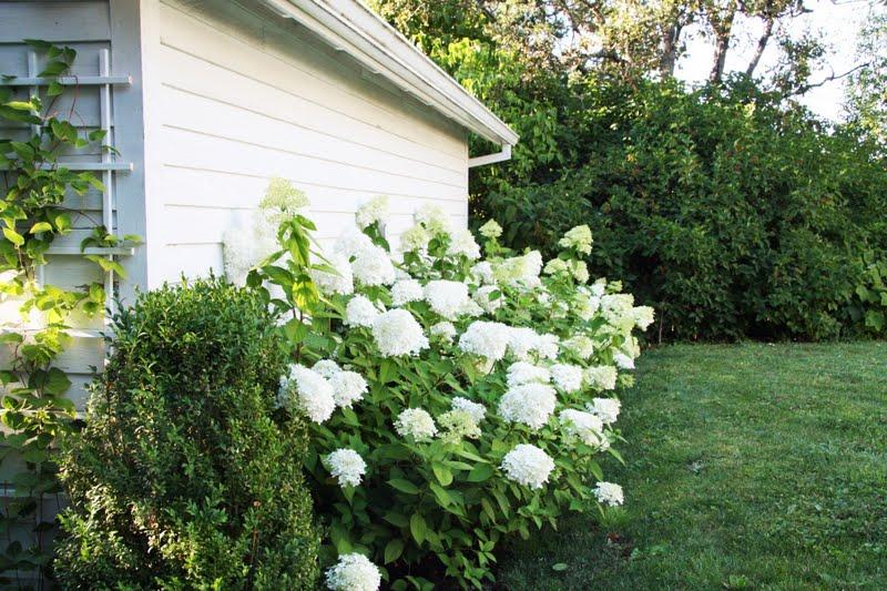 limelight hydrangea hedge winter privacy limelight hardy. Black Bedroom Furniture Sets. Home Design Ideas
