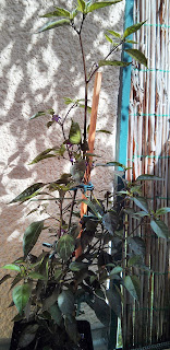 bolivian rainbow pflanze