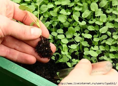 как вырастить рассаду, крепкая рассада, уход за рассадой