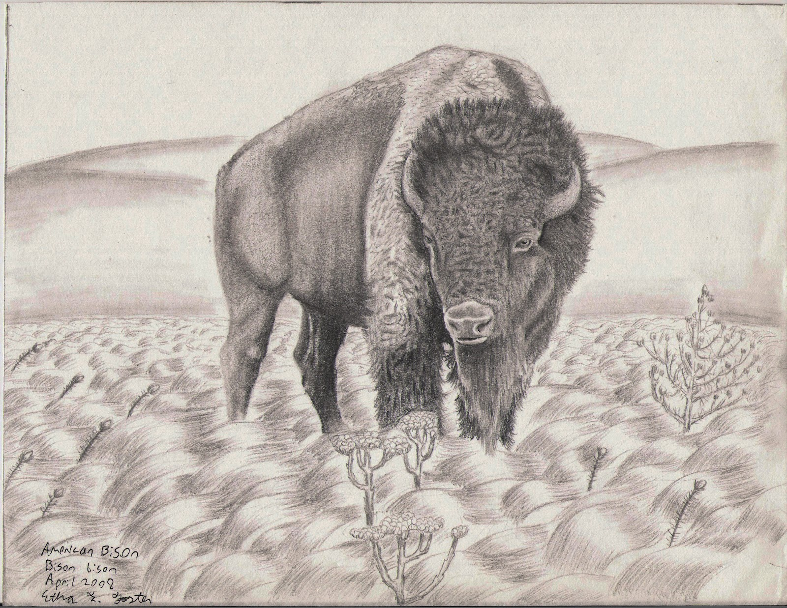 American bison pencil drawing in h hb b3 pencil