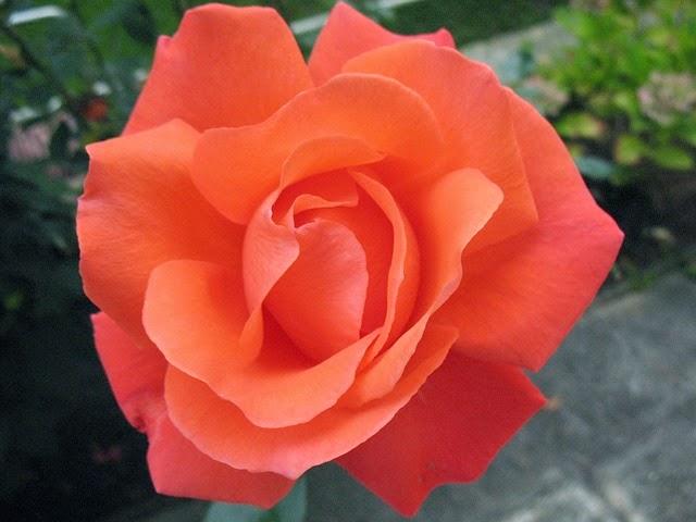 Productosparaempresas rosas distintos colores y sus - Color rosas significado ...